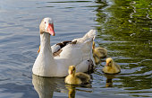 baby gosling and mother goose on water