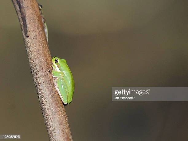 A baby green frog holds onto vegetation above falling flood waters on January 17 2011 in Rockhampton Australia Rockampton experienced some of...