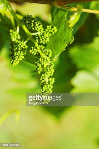 Bebé verde uvas : Foto de stock