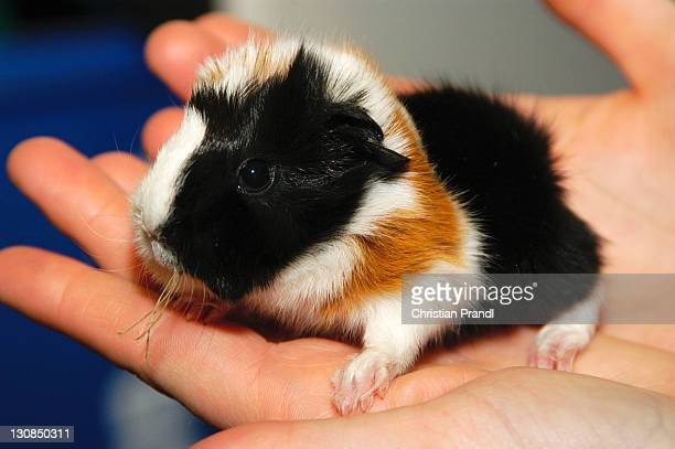 A Baby Guiena Pig (Cavia porcellus) sitting in a Hand