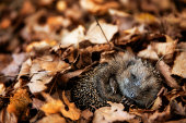 Baby hedgehog is sleeping in autumn leaves