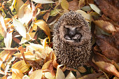 'An autumn born baby hedgehog lying in a bed of leaves. It's born too late in the year and needs human care and feeding to survive the winter. As hedgehogs are an endangered species, gardens should be