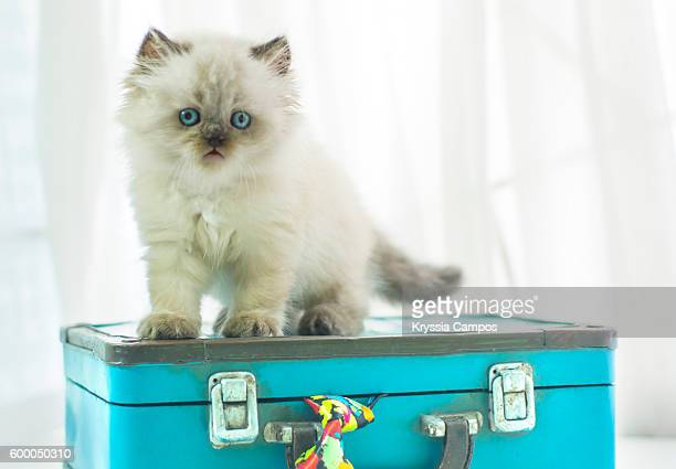 Baby Himalayan cat standing on a vintage suitcase