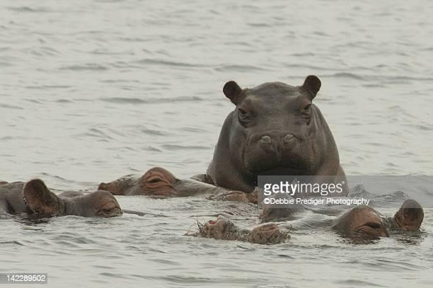 Baby Hippo climbing on adults backs