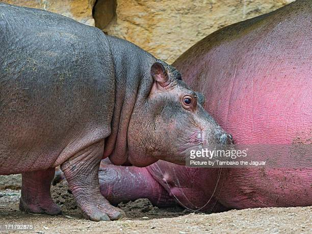 Baby hippo who just finished to drink