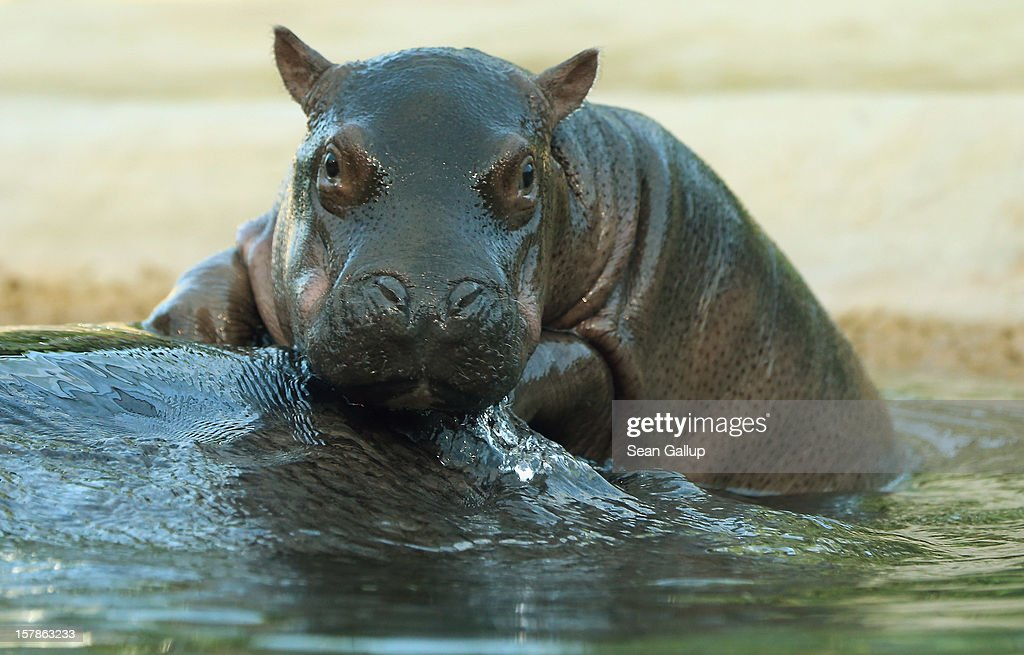 A baby hippopotamus born November 23 rides for a moment on its mother's back at Zoo Berlin on December 7, 2012 in Berlin, Germany. The baby hippo is a boy and has two sisters.