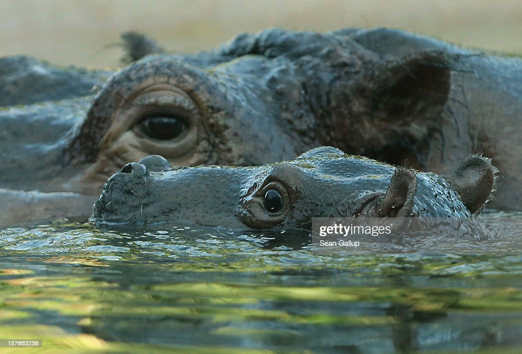 A baby hippopotamus born November 23 swims with its mother at Zoo Berlin on December 7, 2012 in Berlin, Germany. The baby hippo is a boy and has two sisters.