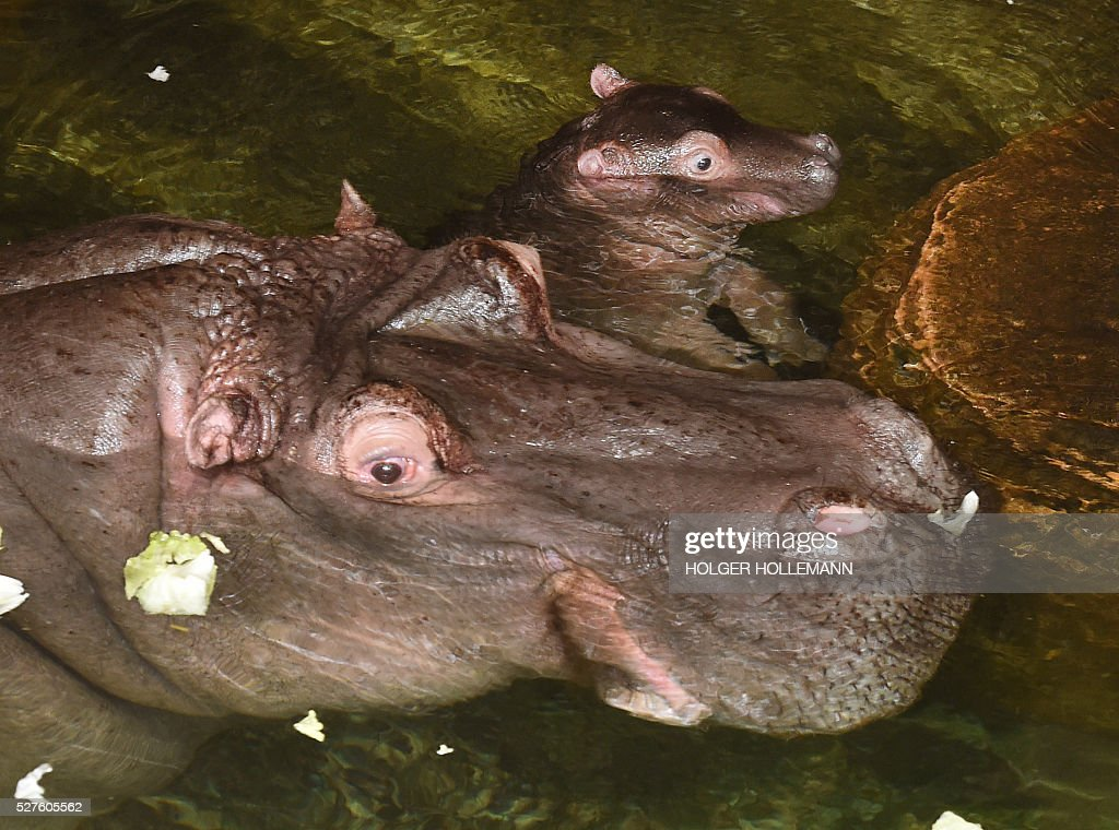 Baby hippopotamus 'Champ' takes a bath next to his mother 'Cherry' in a pool of their enclosure at the zoo in Hanover, northern Germany, on May 3, 2016. 'Champ' is sixteen days old and weighs around 35 kilos. / AFP / dpa / Holger Hollemann / Germany OUT