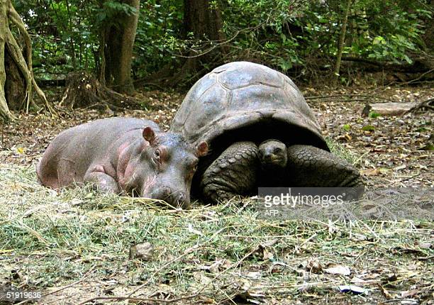 A baby hippopotamus that survived the tsumani waves on the Kenyan coast snuggles up to its new best friend a giant century old tortoise in an animal...