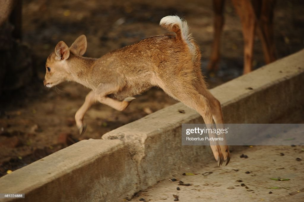 A baby Hog Bawean deer is seen at Surabaya Zoo on January 9 2015 in Surabaya Indonesia In the midst of prolonged internal management conflict over...