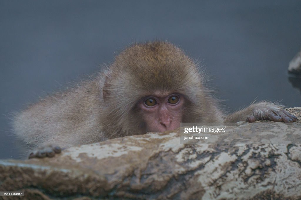 Baby Japanese Macaque hiding behind rock, Jigokudani Monkey Park, Nagano, Japan