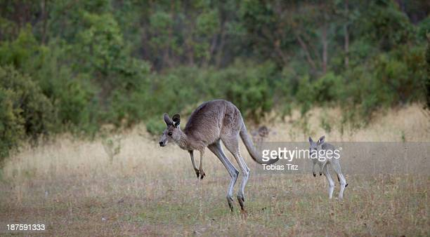 Baby kangaroo following it's mother in Jindabyne, New South Wales, Australia