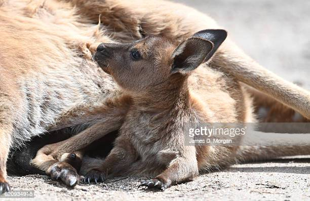 A baby Kangaroo Island 'Joey' at Melbourne Zoo on November 4 2016 in Melbourne Australia Kangaroos Island kangaroo joeys are about the size of a...