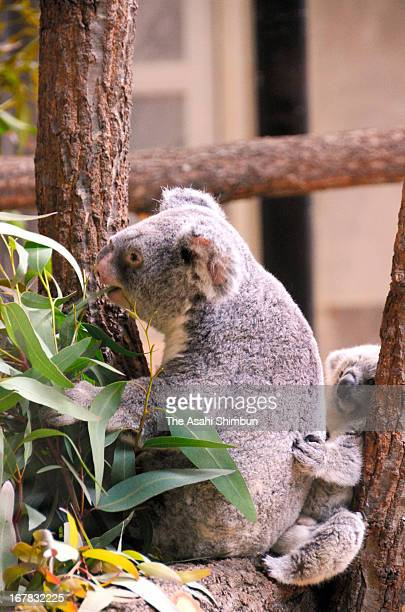 A baby koala 'Arty' is on the back of her mother Tiara at Higashiyama Zoo on April 28 2013 in Nagoya Aichi Japan