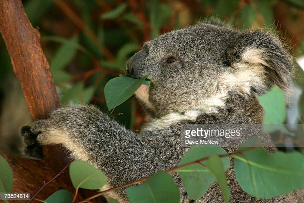 A baby koala born August 7 chews on eucalyptus leaves in its first public appearance at the Los Angeles Zoo March 8 2007 in Los Angeles California...