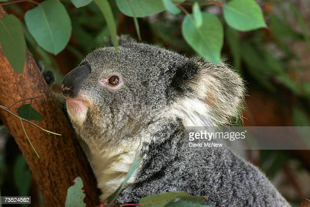 A baby koala born August 7 makes its first public appearance at the Los Angeles Zoo March 8 2007 in Los Angeles California The unnamed baby a mere...