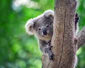 Baby Koala Bear on a tree in a natural atmosphere.