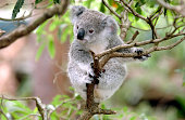 """Baby Koala 'up a gum tree' (Eucalyptus)   New South Wales, Australia"""