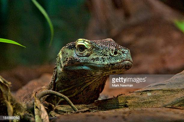 Baby Komodo Dragon (Varanus komodoensis)