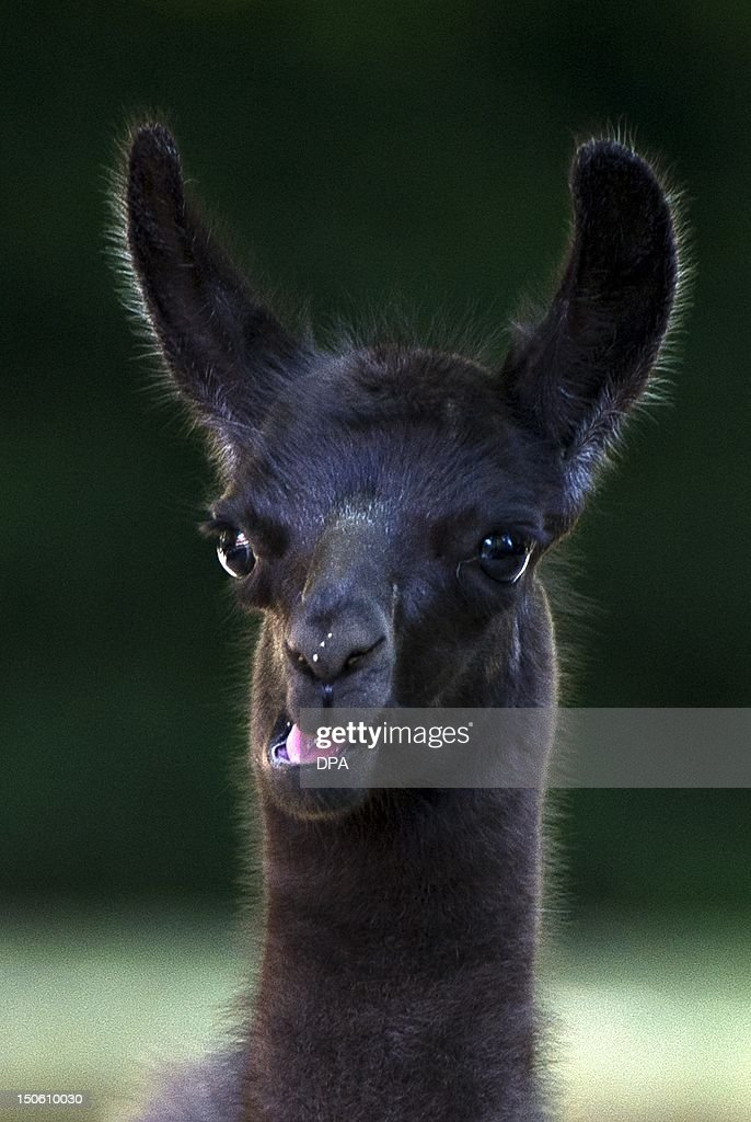 Baby lama Pippa chews as she stands in her enclosure at the zoo in Hanover central Germany on August 23 2012 Pippa was born on August 12 2012 at the...