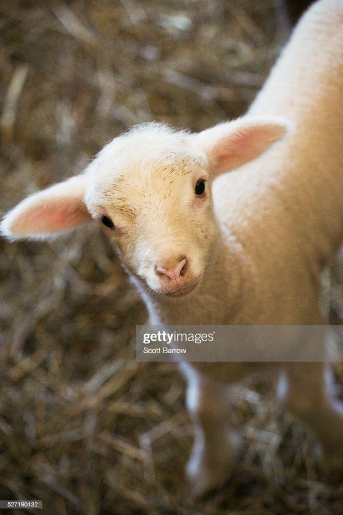 Baby lamb : Stockfoto