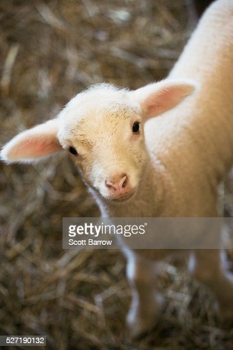 Baby lamb : Stock Photo
