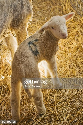 Baby lamb : Stock Photo
