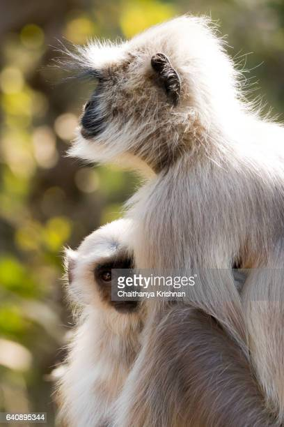 Baby langur in warmth of her mother's embrace in Ranthambore National park, photographed on jeep safari