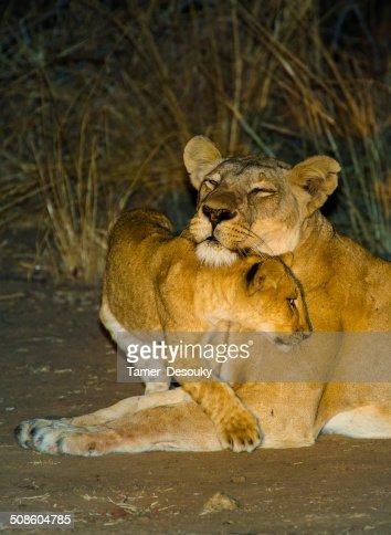 Bebê brincando com sua mãe Leão : Foto de stock