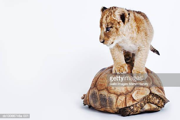 Baby lion standing on tortoise, white background