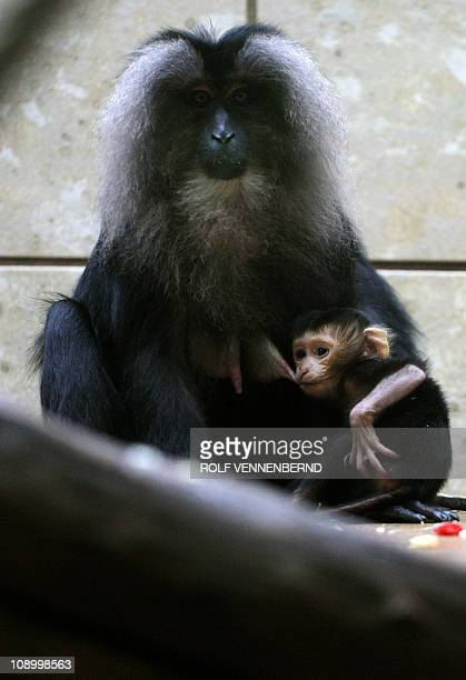A baby liontailed macaque sits next to his mother in their enclosure at the zoo in Wuppertal western Germany on February 11 2011 Liontailed macaques...