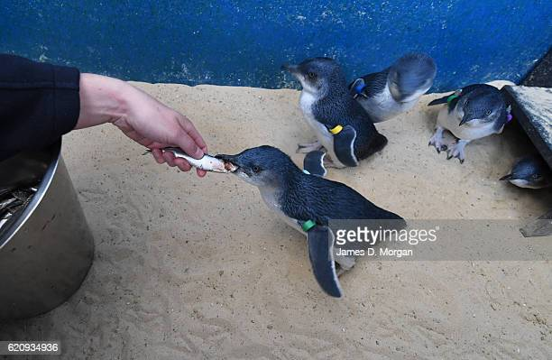 Baby 'Little Blue' penguins at Melbourne Zoo on November 4 2016 in Melbourne Australia This has been a very successful breeding season at Melbourne...