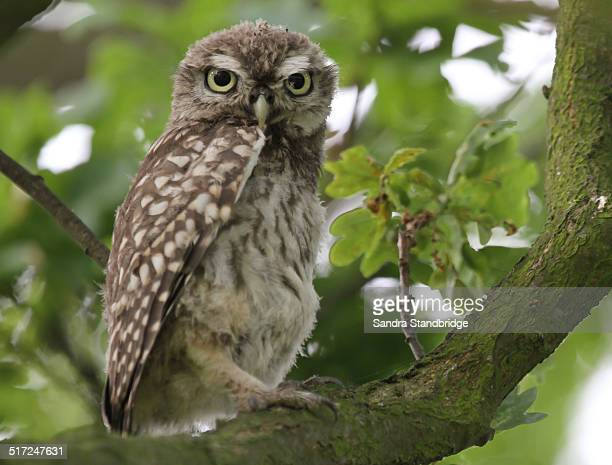A baby little Owl sitting in a tree