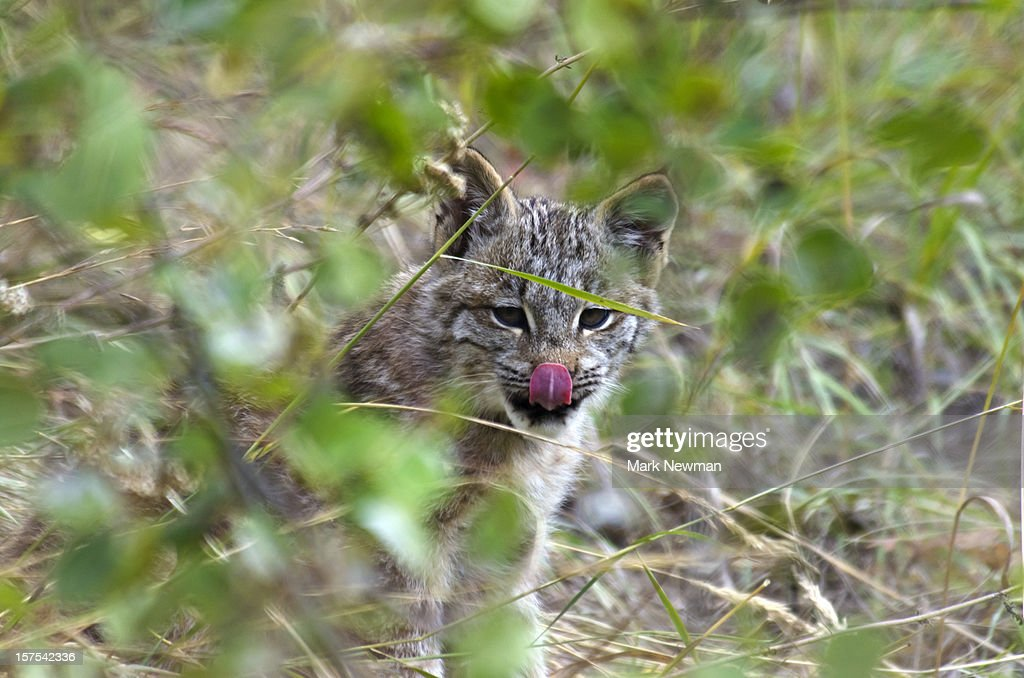 Baby lynx licking its upper lip : Stock Photo