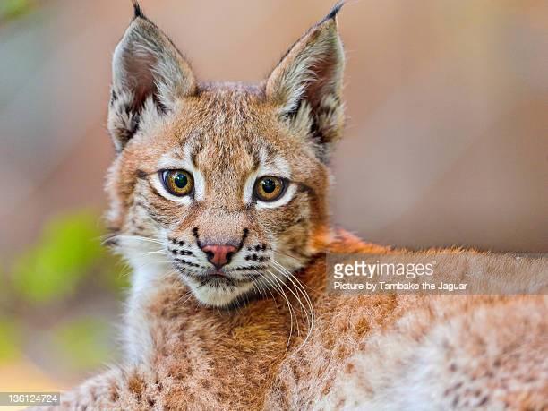 Baby lynx posing