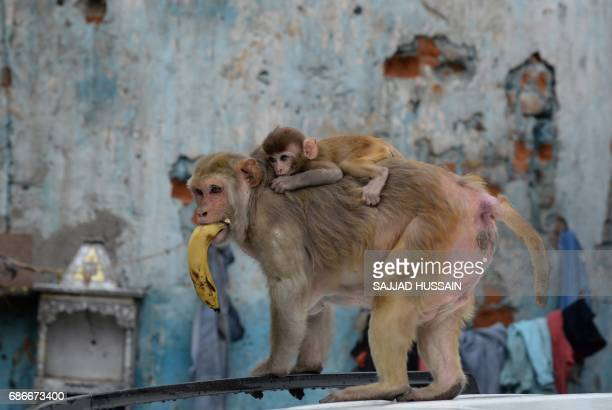 A baby macaque clings to her mother as they climb the roof of a parked car in the Indian capital New Delhi on May 22 2017 / AFP PHOTO / SAJJAD HUSSAIN
