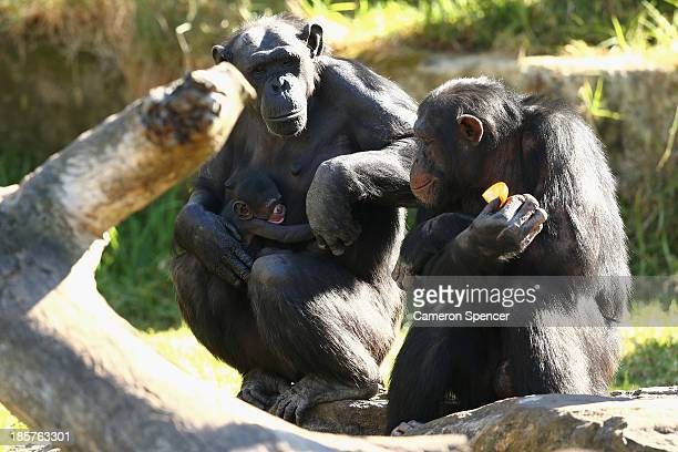 A baby male chimpanzee is nursed by his mother 'Kuma' at Taronga Zoo on October 25 2013 in Sydney Australia The baby Chimpanzee was born to mother...