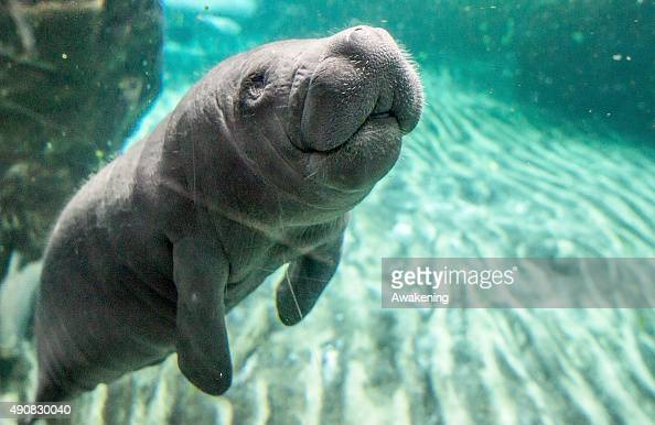 A baby manatee plays against the glass in one of the very first public appearances on October 1 2015 in Genoa Italy The baby manatee is the only one...