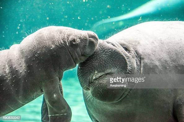 A baby manatee plays with its mother in one of the very first public appearances on October 1 2015 in Genoa Italy The baby manatee is the only one in...