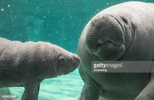 A baby manatee swims near its mother in one of the very first public appearances on October 1 2015 in Genoa Italy The baby manatee is the only one in...