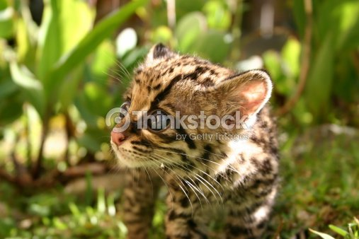 baby margay : Stock Photo