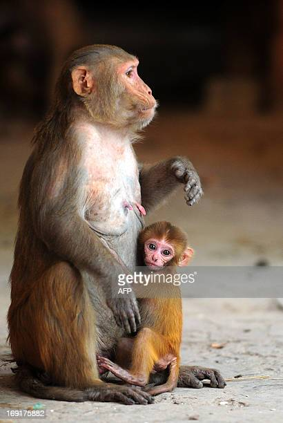 A baby monkey with its mother sit in the shade on a hot day in Allahabad on May 21 2013 Temperatures soared in Allahabad to a maximum temperature of...
