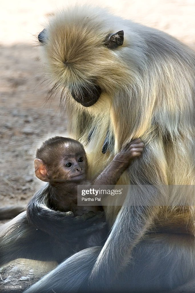 Baby Monkey with Mother at Kanha National Park : Stock Photo