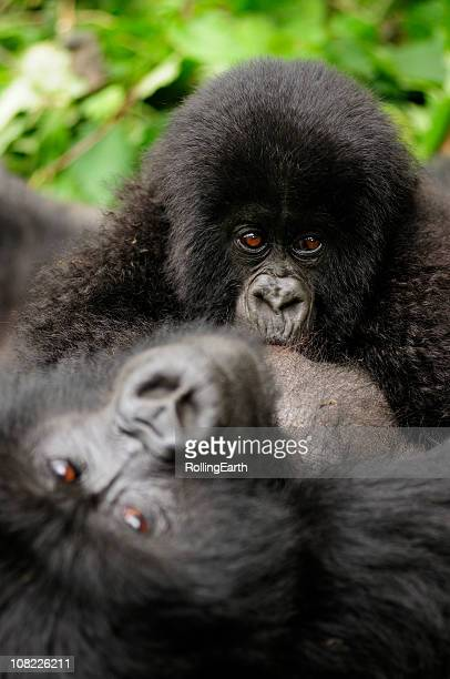 Baby Mountain Gorilla Breast Feeding