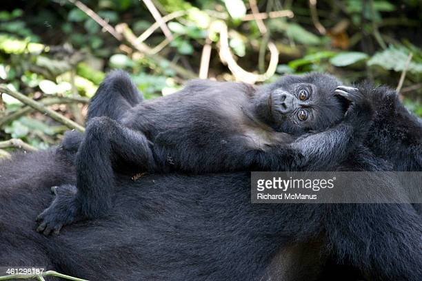 Baby mountain gorilla lying on mother
