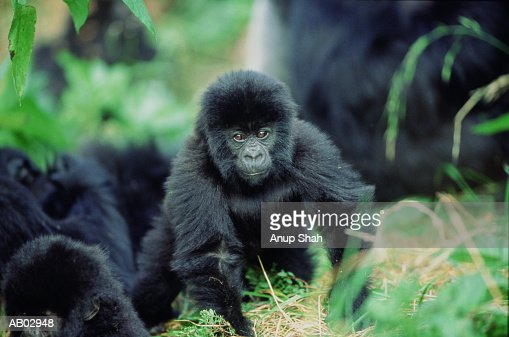 Baby Mountain gorilla (Gorilla gorilla beringei) : Stock Photo