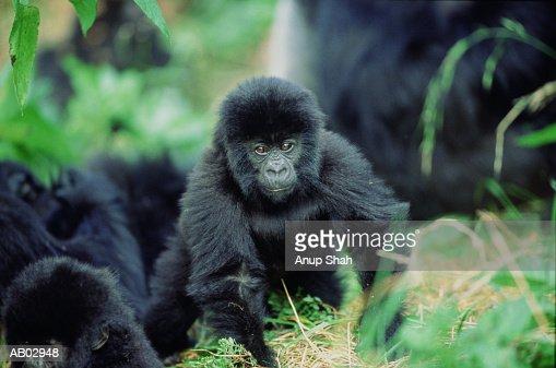 Baby Mountain gorilla (Gorilla gorilla beringei) : Photo