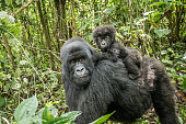 Baby Mountain gorilla sitting on his mother in the Virunga National Park, Democratic Republic Of Congo.