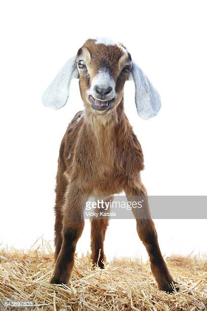 Nubian Goat Stock Photos and Pictures | Getty Images