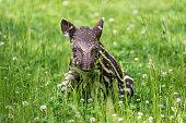 Nine days old baby of the endangered South American tapir (Tapirus terrestris), also called Brazilian tapir or lowland tapir